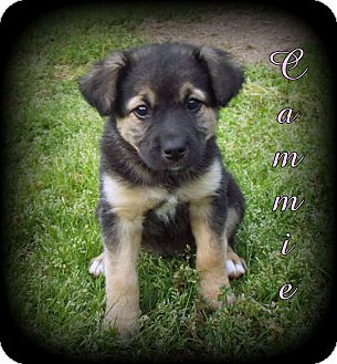 German Shepherd Dog/Golden Retriever Mix Puppy for adoption in Denver, North Carolina - Cammie