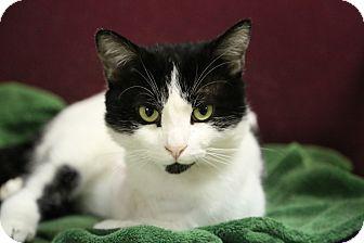 Domestic Shorthair Cat for adoption in Staunton, Virginia - Trey ( Reduced)