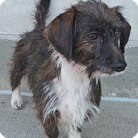 Adopt A Pet :: Allie-ADOPTION PENDING - Bridgeton, MO