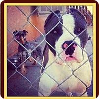 Adopt A Pet :: Batman - West Los Angeles, CA