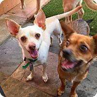 Adopt A Pet :: Melman - Santa Ana, CA