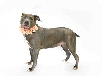 Catahoula Leopard Dog Dog for adoption in Orlando, Florida - COCO