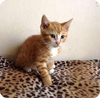 Domestic Shorthair Kitten for adoption in Northfield, Ohio - MANGO