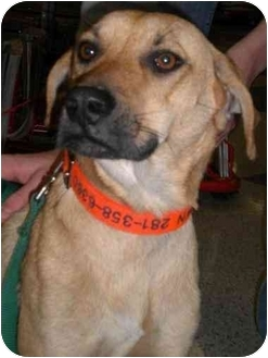 Black Mouth Cur/Greyhound Mix Dog for adoption in Humble, Texas - Molly