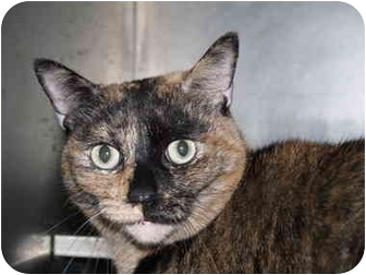Domestic Shorthair Cat for adoption in El Cajon, California - Sasha