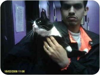 Domestic Mediumhair Cat for adoption in Everman, Texas - Oreo