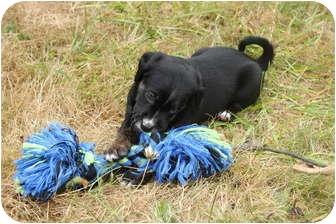 German Shepherd Dog Mix Puppy for adoption in Portland, Oregon - Dylan McKay