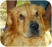 Chow Chow/Shar Pei Mix Dog for adoption in Lincolnton, North Carolina - Chang