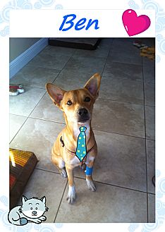 Basenji/Labrador Retriever Mix Dog for adoption in Fort Lauderdale, Florida - Ben