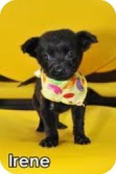 Labrador Retriever/Shepherd (Unknown Type) Mix Puppy for adoption in Encino, California - Irene