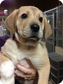 Great Pyrenees/Great Dane Mix Puppy for adoption in Hilliard, Ohio - Toby