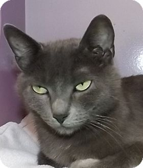 Russian Blue Cat for adoption in Grants Pass, Oregon - Maya