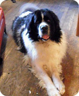 Newfoundland Dog for adoption in Lee's Summit, Missouri - Spirit