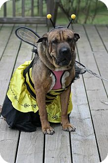 Shar Pei Mix Dog for adoption in Apple Valley, California - Princess Lola in PA