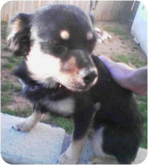 Miniature Pinscher/Terrier (Unknown Type, Small) Mix Dog for adoption in Harbor City, California - Max