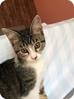 Domestic Shorthair Kitten for adoption in Tampa, Florida - Ashley