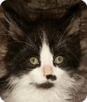 Domestic Longhair Kitten for adoption in Walworth, New York - Cruze