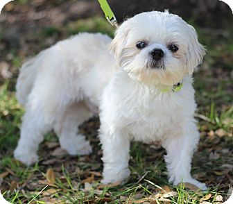 Shih Tzu Mix Dog for adoption in Plymouth Meeting, Pennsylvania - PRINCE