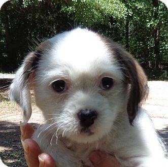 Cockapoo/Shih Tzu Mix Puppy for adoption in Crump, Tennessee - Princess