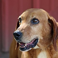 Hound (Unknown Type) Mix Dog for adoption in Asheville, North Carolina - Dollie Mae