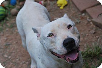 Pit Bull Terrier/Bull Terrier Mix Dog for adoption in Cleveland, Oklahoma - Gringa $50 ADOPTION FEE