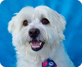 Westie, West Highland White Terrier/Maltese Mix Dog for adoption in Irvine, California - Buckley