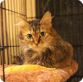 Domestic Longhair Cat for adoption in Carlisle, Pennsylvania - Beta