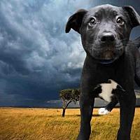 Adopt A Pet :: A217340 - Fairfield, CA