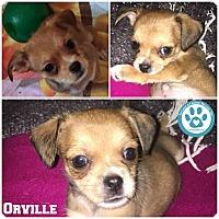 Adopt A Pet :: Orville - Kimberton, PA