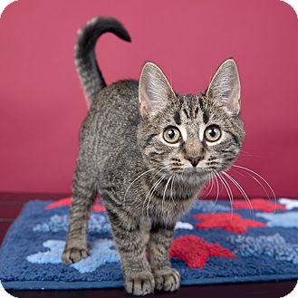 Domestic Shorthair Kitten for adoption in Wilmington, Delaware - Swiffer