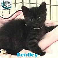 Adopt A Pet :: Bentley - Little Cutie! - Huntsville, ON