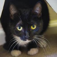 Adopt A Pet :: Cersei Lannister - Decatur, GA