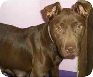Pit Bull Terrier/Labrador Retriever Mix Dog for adoption in Medford, Massachusetts - Penny