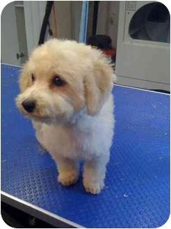 Bichon Frise/Poodle (Miniature) Mix Puppy for adoption in Wildwood, Missouri - oscar