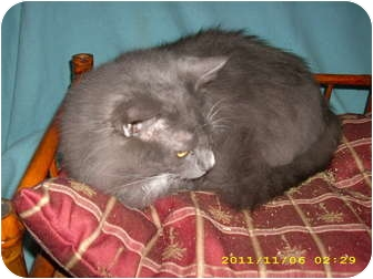 Maine Coon Cat for adoption in Wilmington, Delaware - Robby