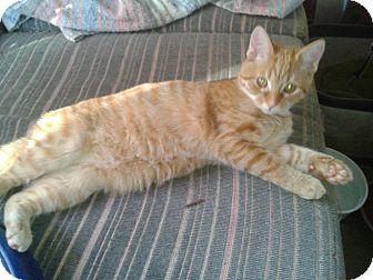 Domestic Shorthair Kitten for adoption in Acme, Pennsylvania - Little Girl