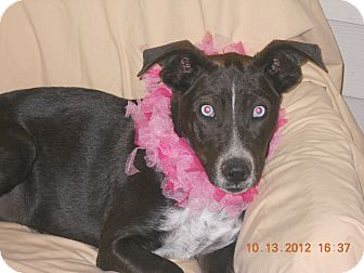 Australian Shepherd Mix Dog for adoption in Bedminster, New Jersey - Bonnie