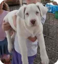 American Bulldog Mix Dog for adoption in Anza, California - Cotton