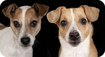 Jack Russell Terrier Dog for adoption in Chicago, Illinois - Dino & Enzo