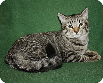 American Shorthair Cat for adoption in Rochester, New York - Chloe