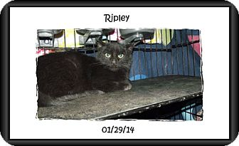 Domestic Shorthair Kitten for adoption in Olmsted Falls, Ohio - Ripley