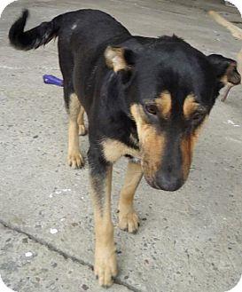 Shepherd (Unknown Type) Mix Dog for adoption in San Diego, California - Alice