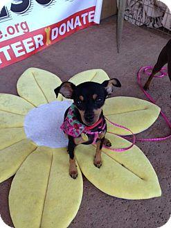 Miniature Pinscher Puppy for adoption in Oceanside, California - Sachi