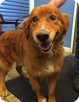 Golden Retriever Mix Dog for adoption in Knoxville, Tennessee - Rusty