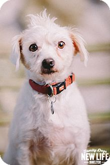 Maltese/Cairn Terrier Mix Dog for adoption in Portland, Oregon - Frizzy