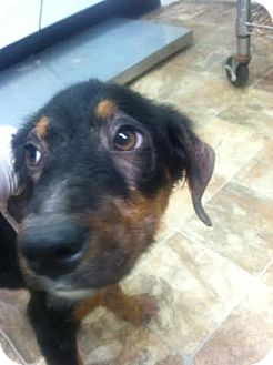 Hound (Unknown Type)/German Shepherd Dog Mix Puppy for adoption in Darlington, South Carolina - Zaira