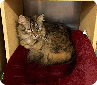Maine Coon Cat for adoption in Colmar, Pennsylvania - Emily