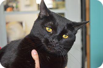 Domestic Shorthair Cat for adoption in Monroe, Michigan - Jax