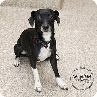 Jack Russell Terrier Mix Dog for adoption in Troy, Ohio - Shadow