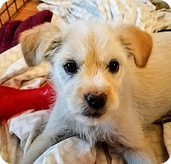 Jack Russell Terrier/Schnauzer (Miniature) Mix Puppy for adoption in Chicago, Illinois - Ronnie*ADOPTED!*